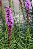 鹿舌草钉(多种花色鲜明之植物) 免版税库存图片