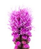 鹿舌草,多种花色鲜明之植物 图库摄影