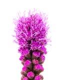 鹿舌草,多种花色鲜明之植物 免版税库存图片