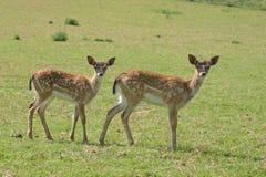 鹿草甸獐鹿 库存照片