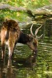 鹿被察觉的饮用的男性菲律宾 免版税库存图片