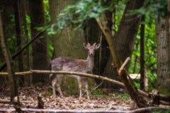 鹿被捉住的在活动中 库存图片