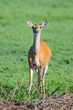 鹿被盯梢的白色 免版税库存图片