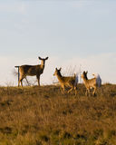 鹿被盯梢的白色 免版税图库摄影
