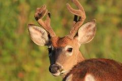 鹿被盯梢的白色 图库摄影