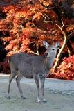 鹿被盯梢的白色 库存图片