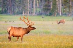 鹿角公牛麋夏天天鹅绒黄石 库存图片