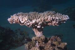 鹿角珊瑚属pharaonis 图库摄影