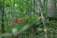 鹿角的鹿天鹅绒白尾鹿 免版税库存照片