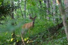 鹿角的鹿天鹅绒白尾鹿 免版税库存图片