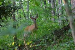 鹿角的鹿天鹅绒白尾鹿 库存图片