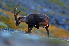 鹿角高山高地山羊,山羊属高地山羊,抓与色的岩石的动物在背景中,动物在自然栖所,法国 免版税库存照片