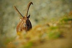 鹿角高山高地山羊,山羊属高地山羊,野生动物暗藏的画象与色的岩石的在背景,动物在自然栖所, I中 库存照片