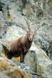 鹿角高山高地山羊,山羊属高地山羊画象,与岩石在背景中,法国 库存图片