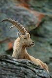 鹿角高山高地山羊,山羊属高地山羊画象,与岩石在背景中,法国 免版税库存图片