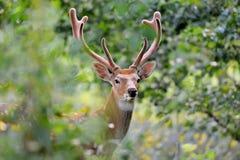 鹿讨好爱恋的妈妈注意白尾鹿 免版税库存照片