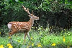 鹿讨好爱恋的妈妈注意白尾鹿 库存照片