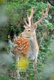 鹿讨好爱恋的妈妈注意白尾鹿 库存图片