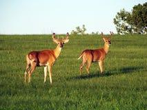 鹿讨好爱恋的妈妈注意白尾鹿 免版税库存图片