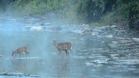 鹿讨好爱恋的妈妈注意白尾鹿 股票视频