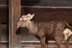 鹿身分和背景木墙壁在奈良,日本 图库摄影