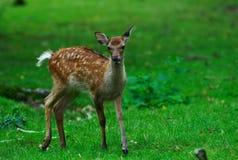 鹿运行的年轻人 库存照片