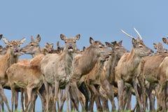 鹿雄鹿牧群与生长鹿角的吃草草特写镜头的 免版税库存照片
