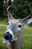 鹿面对滑稽 免版税库存照片