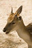 鹿题头被盯梢的白色 库存照片