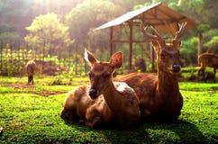 鹿饲养,Ciewedey,在万隆南部 免版税库存照片