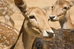 鹿驯服 免版税库存照片