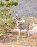 鹿骡子一岁 免版税图库摄影