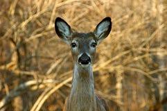鹿骡子被盯梢的白色 免版税库存图片