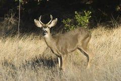 鹿骡子 免版税库存图片