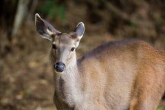 水鹿鹿中央印度 库存图片