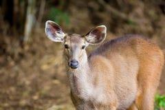 水鹿鹿中央印度 免版税图库摄影