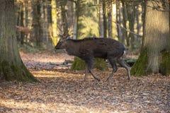 鹿鹿日本sika 亚洲鹿 图库摄影