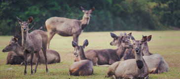 水鹿鹿 全景 库存图片