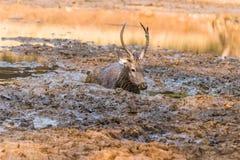 水鹿鹿 免版税库存图片