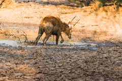 水鹿鹿 库存照片