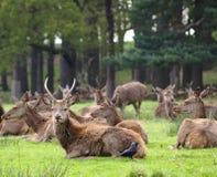 鹿鹿elaphus牧群红色 库存图片