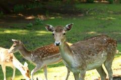 鹿, Country Park教务长 免版税库存照片
