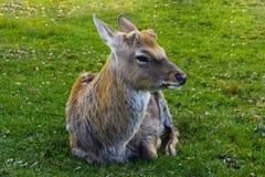 鹿-与一个典雅的身体的大动物 图库摄影