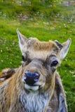鹿-与一个典雅的身体的大动物 库存照片