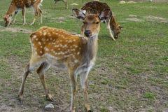 鹿-与一个典雅的身体的大动物 库存图片
