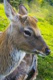 鹿-与一个典雅的身体的大动物 免版税库存图片