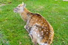 鹿-与一个典雅的身体的大动物 免版税库存照片