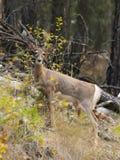 鹿画象在森林 图库摄影