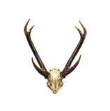 鹿头骨和垫铁  免版税库存照片