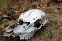鹿头骨在森林里 库存图片